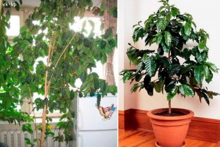 Продам кофейне дерево (м. Кам'янець-Подільський)